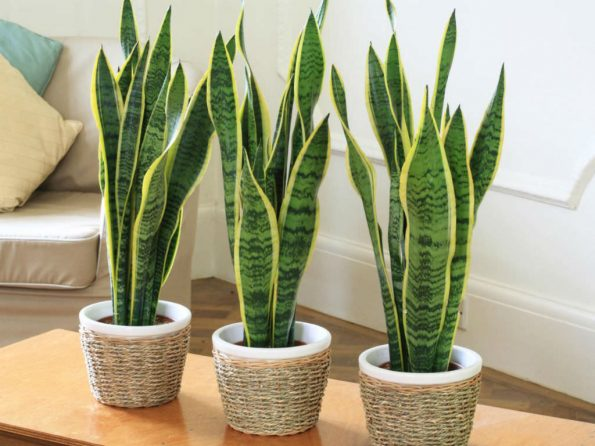 types of sansevieria
