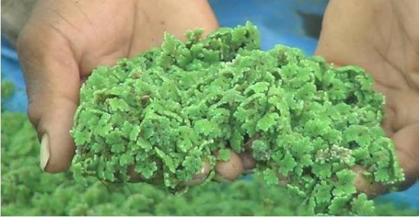 Azolla water plant