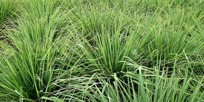 Lemongrass – Best way to get Healthy Life Naturally