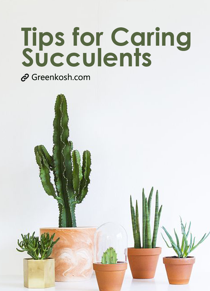 Succulents Caring Tips