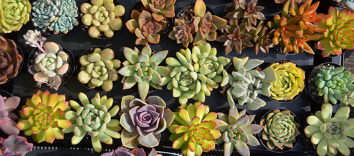 Succulent caring tips