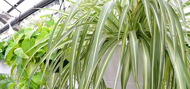 Spider Plants for House