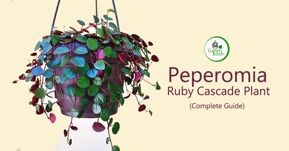 Peperomia Ruby Cascade Plant: Learn Best Care Tips to Ensure Healthy Growth