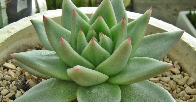 Things To Know About The Echeveria Agavoides – Care, and Propagation