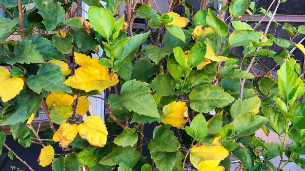 Hibiscus Leaves Turning Yellow