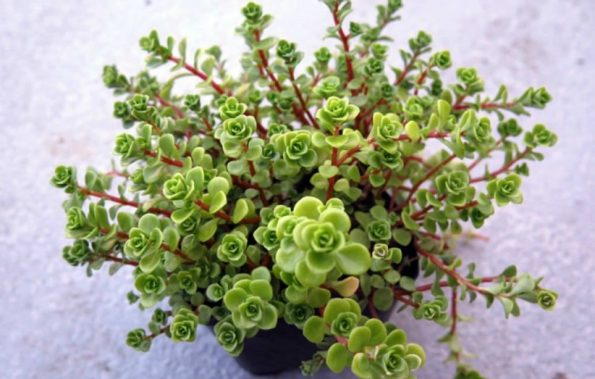 sedum makinoi limelight