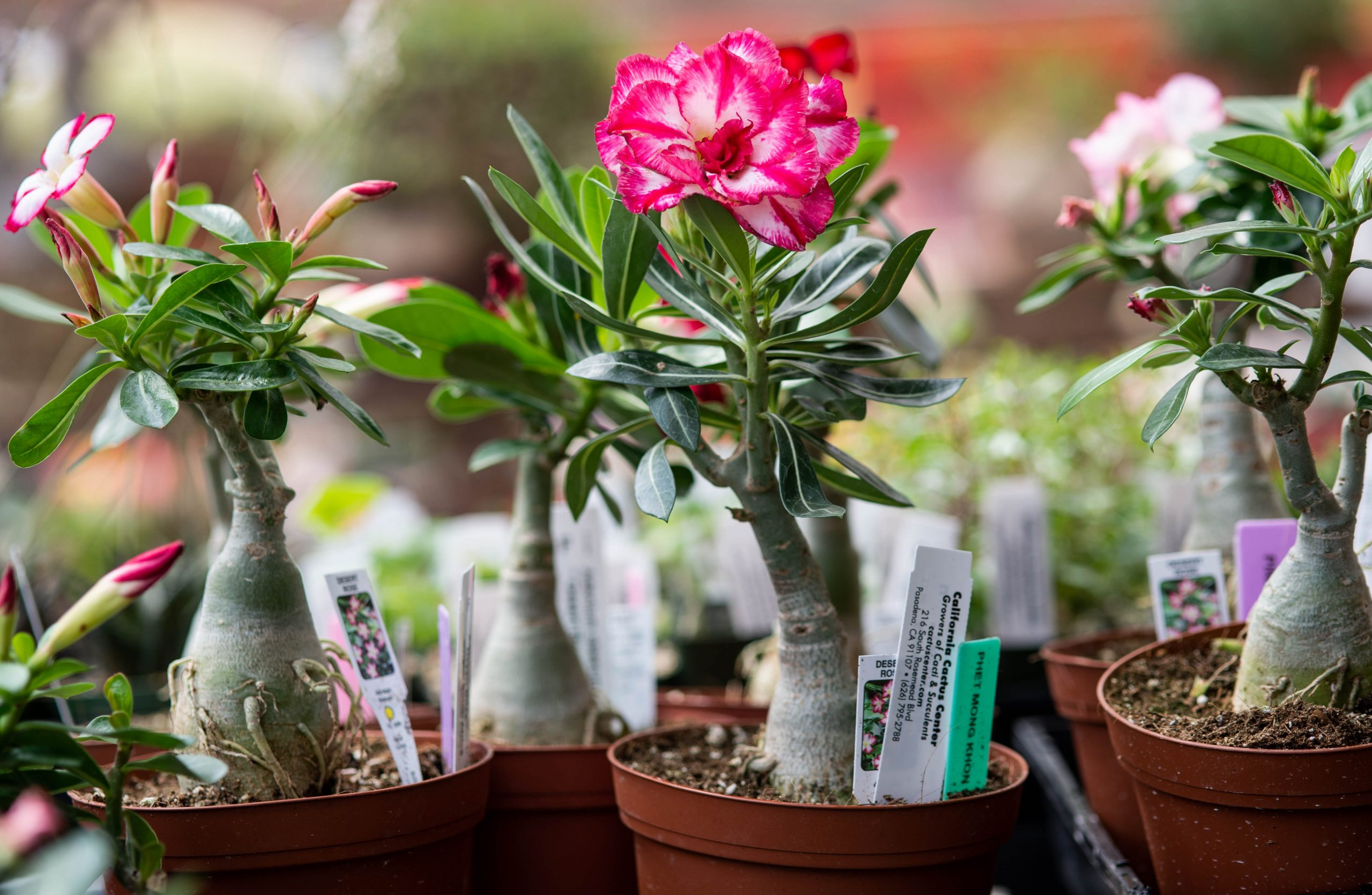 Adenium Plant – Everything You Need to Know About this Tiny Plant