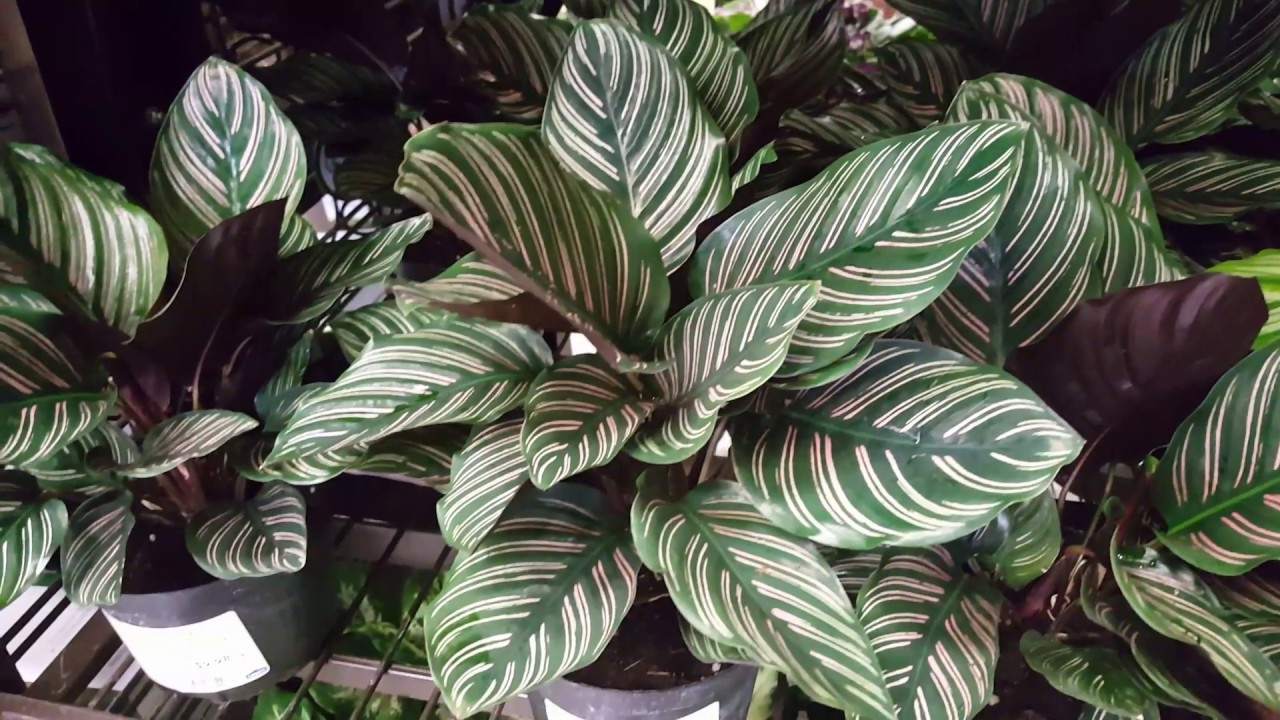 Calathea Plant: All Major Types and Benefits