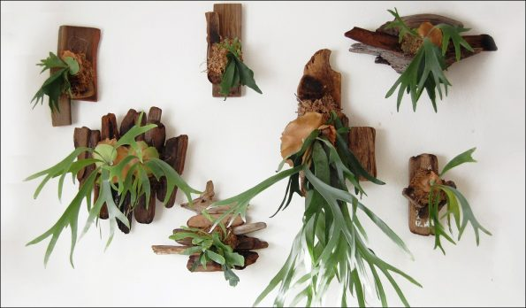 Staghorn Fern Plants