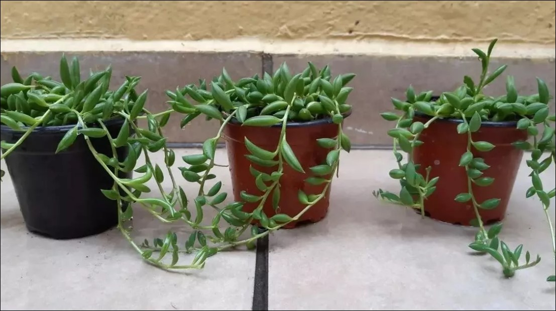 String of Dolphins: Low maintenance Hanging Succulent Plant