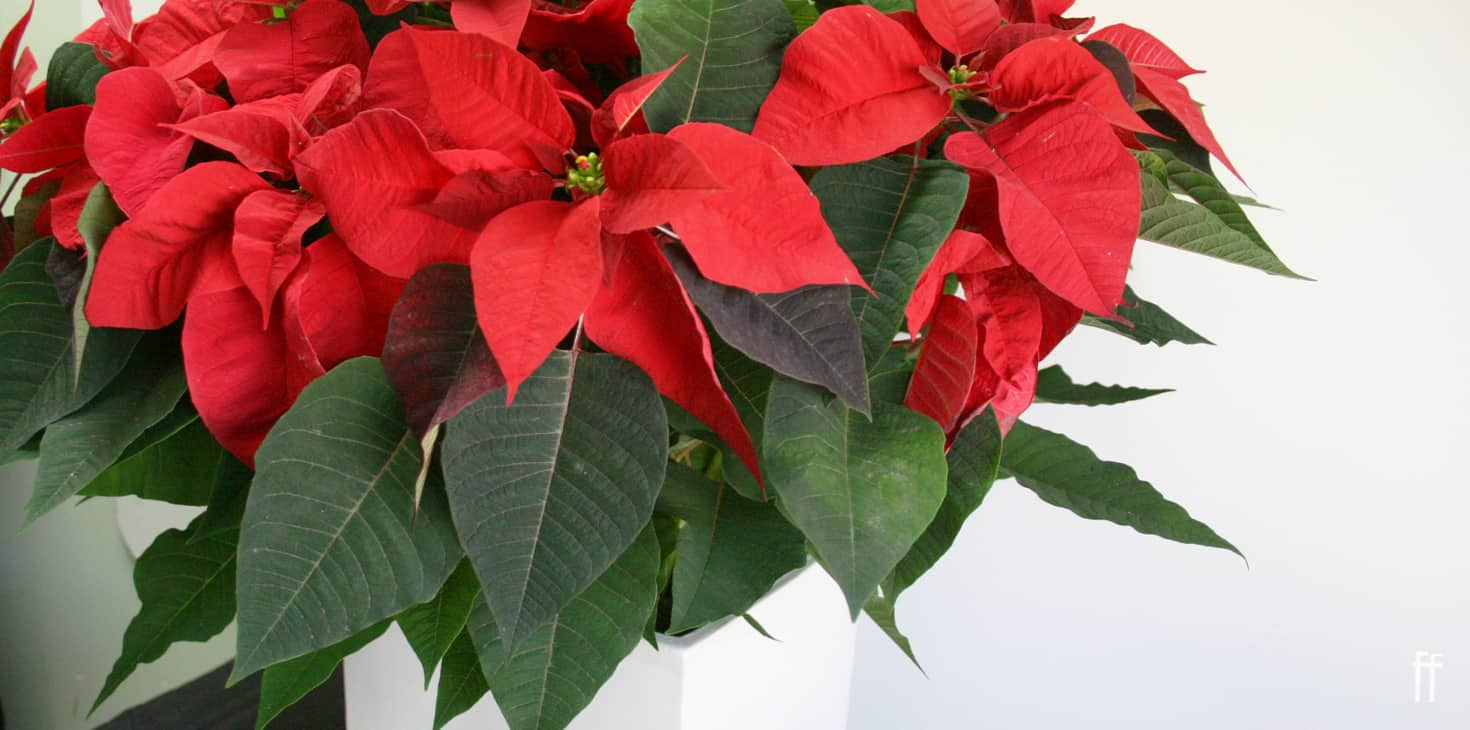 Poinsettia Plants: Major Varieties, Caring Tips, And Facts