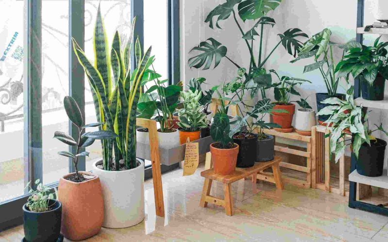 Complete Guide of Lucky plants for Home, Business, Office and more