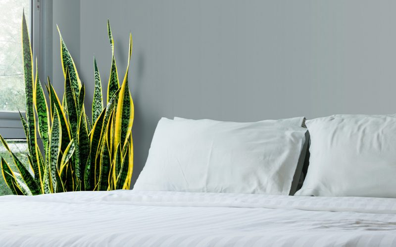 Snake Plant Benefits and Some Lesser-Known Disadvantages