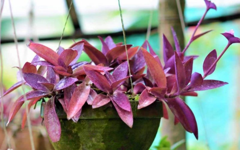 Purple Heart Plant: Know How to Care,  Propagate and its benefits